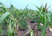 Activistas piden proteger patrimonio de maíz nativo ante riesgo de desaparición