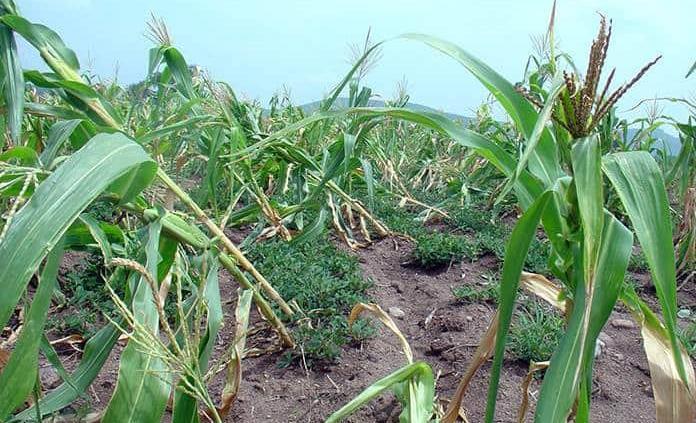Se pierden cultivos de maíz y de cítricos