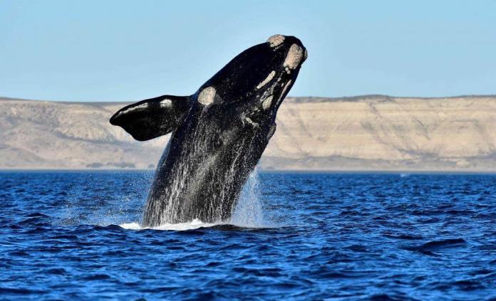 Supervivencia de ballenas francas depende de solo 100 hembras