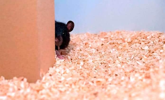 Las ratas aprenden a jugar al escondite con humanos y se les da bien