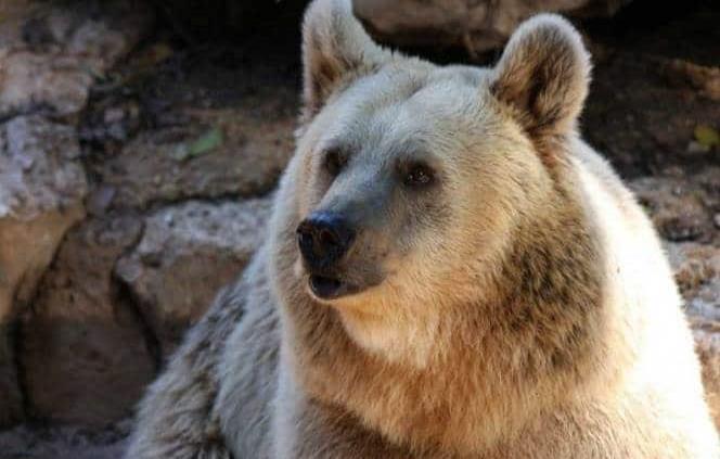 Cazador de Colorado resulta herido tras encuentro con oso