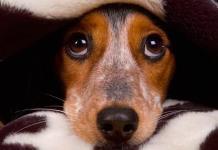 Entérate: ¿Qué daños a la salud puede sufrir tu mascota por el ruido de la pirotecnia?