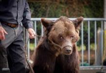Francia prohíbe espectáculo de oso maltratado