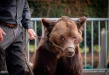 Prohíben exhibir a oso maltratado
