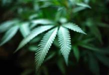 Gobierno tratará a su tiempo el tema de la marihuana: AMLO