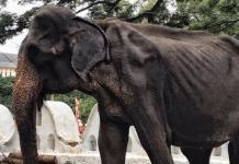 Pese a los intentos por salvarla, muere la elefante Tikiri en Sri Lanka