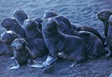 El oso marino ártico de Alaska encuentra cobijo en un volcán
