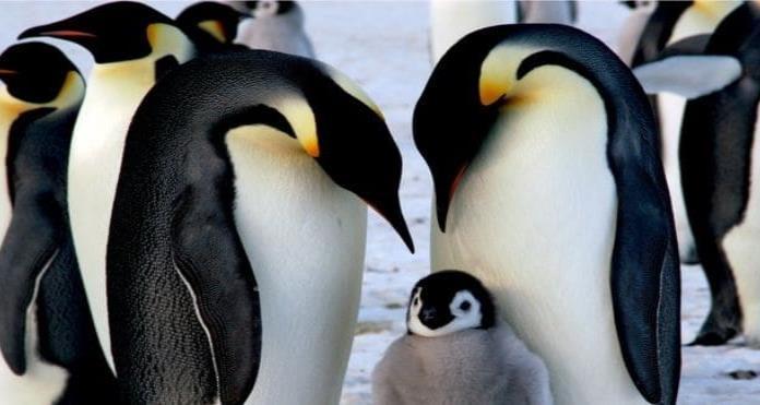 El calentamiento global amenaza con extinguir a los pingüinos emperador