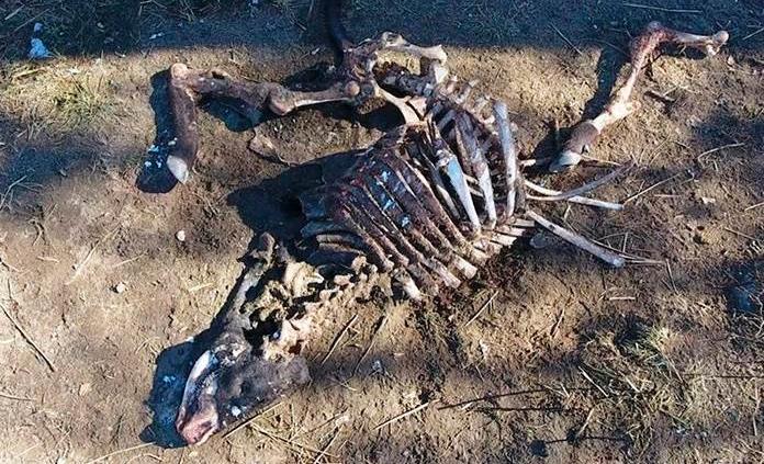¿Alienígenas o satanismo? La macabra mutilación de toros que inquieta en EEUU