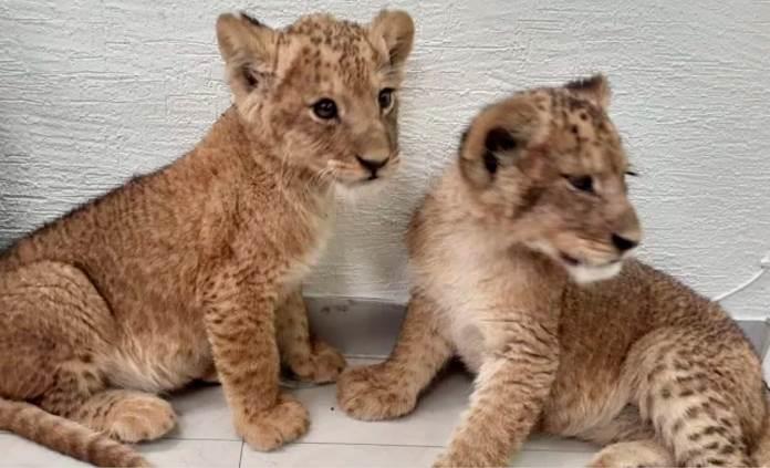 Sujetos vendían dos cachorros de león intentan asesinar al comprador
