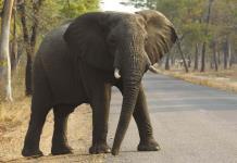 Sequía y hambre matan a 55 elefantes en reserva de Zimbabwe