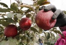 Nueva variedad de manzana debutará en EEUU en diciembre
