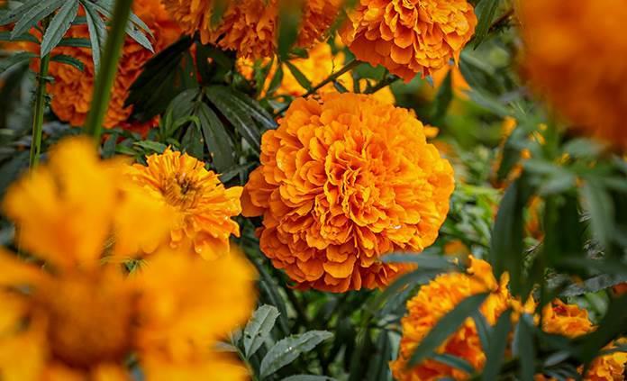 Cempasúchil, la flor de los muertos que también es medicinal