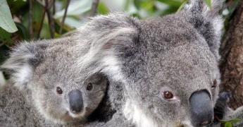 La población de koalas se redujo en un 30 por ciento desde 2018