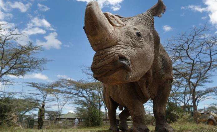 Crean cuernos falsos de rinoceronte para tratar de evitar su extinción