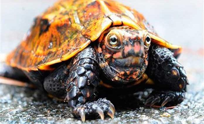 Desaparecen 60 tortugas en peligro de extinción de zoológico japonés