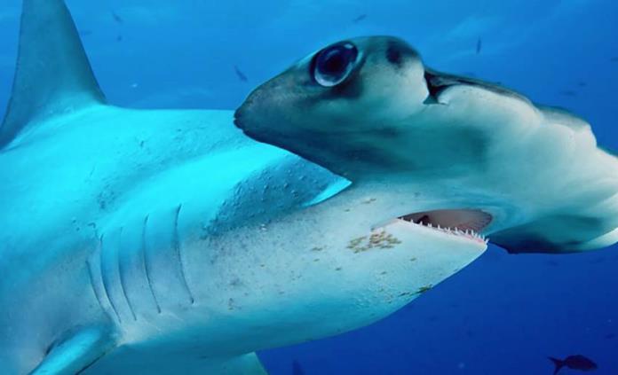 Tiburón martillo, en lista de especies en peligro crítico de extinción