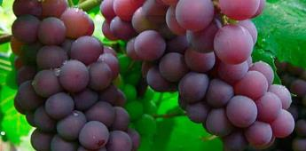 ¿Por qué se comen 12 uvas a medianoche?
