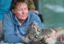 Veterinarios y voluntarios auxilian a decenas de koalas afectados por incendios en Australia (FOTOS)