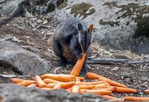 Australia lanza desde helicópteros comida a animales afectados por incendios (FOTOS)