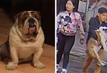 Rescatan a Emilio, el bulldog robado en CDMX