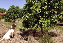 Adiestran perros para detectar enfermedades en cítricos