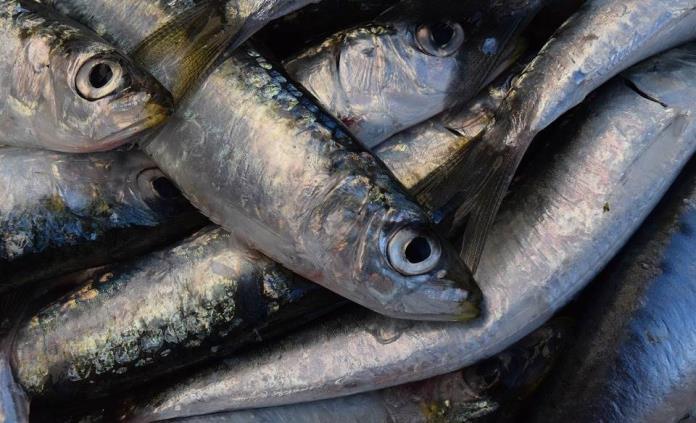 Conoce los beneficios de comer sardinas