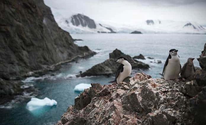 Población de pingüinos barbijo en Antártida cae hasta un 77%, dice Greenpeace
