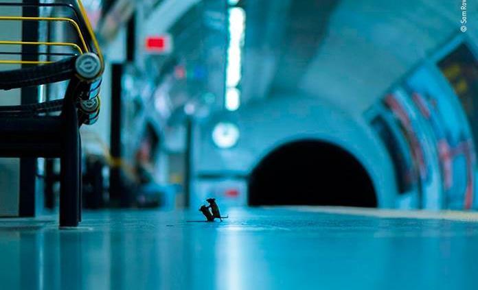 Una pelea de ratones en el metro de Londres, mejor foto de naturaleza del año