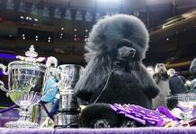 Caniche estándar se lleva premio máximo en el Westminster Kennel Club (FOTOS)