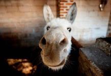 La lucha por la supervivencia del burro mexicano en la era tecnológica