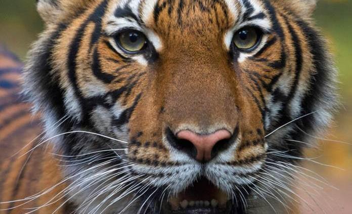 Siete tigres más del zoológico del Bronx dan positivo a COVID-19