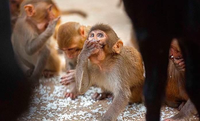 Controlan las preferencias de monos con el uso de ultrasonidos no invasivos