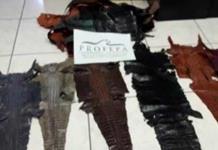 Asegura Profepa dragoncitos vivos y pieles de cocodrilo en aeropuerto de SLP