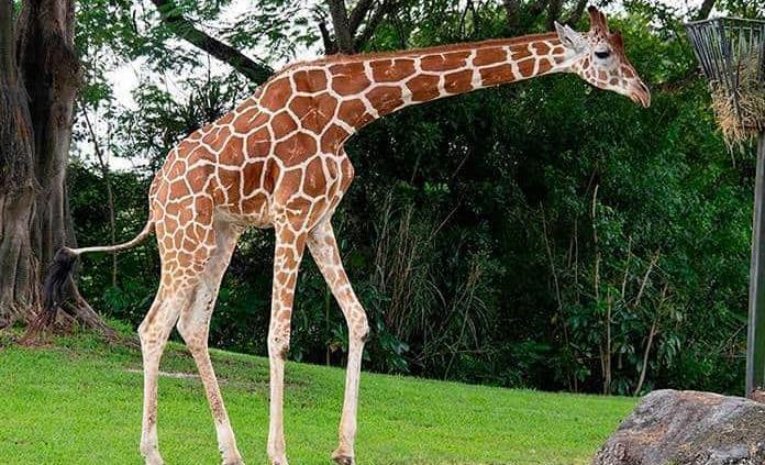 Mueren electrocutadas dos jirafas en parque de Kenia
