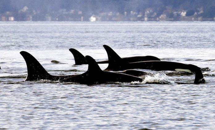 Salmón chinook es clave en alimentación de orcas