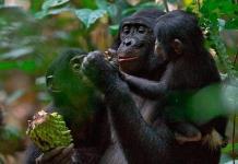 Simios de un zoológico de EEUU, primeros animales en recibir vacuna anticovid