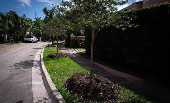 Árboles de sombra por palmeras: Miami Beach se enfrenta al cambio climático