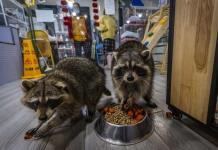 Un cortado y un mapache: los cafés con animales exóticos proliferan en China (FOTOS)