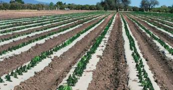 Sigue la ola de robo de cultivos