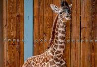 Nace una jirafa Masai en el parque Animal Kingdom de Orlando