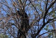 Captan a oso negro arriba de árbol de la UANL