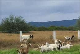 Detienen a hombre por robar 20 cabras